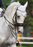 Dressage: Portrait des grauen Pferds Stockfoto