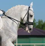 Dressage: Portrait des grauen Pferds Lizenzfreie Stockfotografie