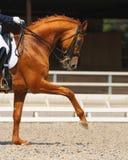 Dressage: Portrait des Sauerampferpferds Lizenzfreie Stockfotografie