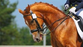 Dressage: Portrait des Sauerampferpferds Lizenzfreie Stockfotos
