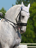 Dressage: portrait of gray horse. On nature background Royalty Free Stock Photography
