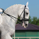 Dressage: portrait of gray horse Royalty Free Stock Photography