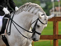Dressage pura raza espanola andalusian horse. Dressage pura raza espanola andalusian white horse Stock Photo