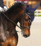 Dressage: retrato del caballo de bahía Foto de archivo
