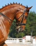 Dressage: ritratto del cavallo dell'acetosa Fotografia Stock Libera da Diritti