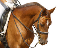 Dressage, sorrel horse. Isolated on white Stock Photography