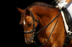 Dressage, sorrel horse. Isolated on black stock photo