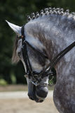 Dressage Stallion Stock Photos