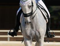 Dressage : verticale de cheval gris Images libres de droits