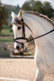 Dressage-weißes Pferd Stockfotografie