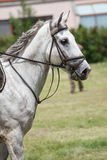 Dressage white horse Stock Photo