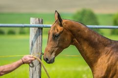 Dressage of young aristocratic chestnut stallion. Of Akhal Teke horse breed from Turkmenistan in paddock on a sunny day, shining hair, hand holding rope stock image