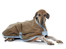 Dressed azawakh hound Stock Images