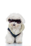 Dressed bichon puppy dog wearing sunglasses. Isolated on white background Royalty Free Stock Image