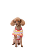 Dressed brown poodle Stock Photo