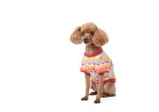 Dressed brown poodle Royalty Free Stock Photos