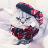 Dressed cat Stock Photography
