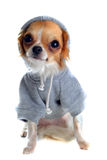 Dressed chihuahua royalty free stock photography