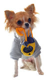 Dressed chihuahua Royalty Free Stock Image