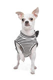 Dressed chihuahua Stock Photo