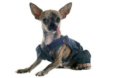 Dressed chihuahua Royalty Free Stock Images
