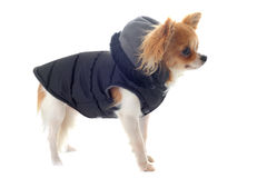 Dressed chihuahua Stock Photography