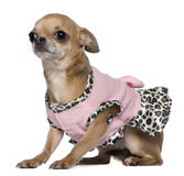 Dressed Chihuahua, 4 years old, sitting Stock Images