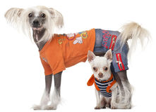 Dressed Chihuahua and Chinese Crested dog Royalty Free Stock Photos