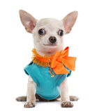 Dressed Chihuahua Stock Photos