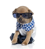 Dressed Chihuahua puppy wearing glasses Royalty Free Stock Photography