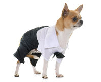 Dressed chihuahua in studio Royalty Free Stock Photo