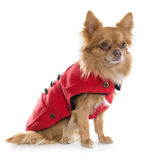 Dressed chihuahua in studio Stock Images