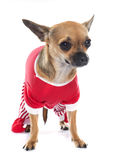 Dressed chihuahua in studio Stock Image