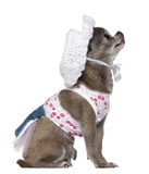 Dressed Chihuahua wearing a hat looking up Stock Photography