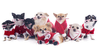 Dressed chihuahuas Royalty Free Stock Image
