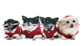 Dressed chihuahuas Stock Image