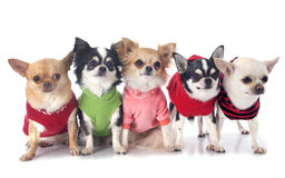 Dressed chihuahuas Royalty Free Stock Photos