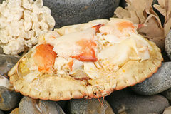 Dressed crab on beach pebbles Royalty Free Stock Photos