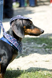 Dressed Dachshund. Portrait of a funny dachsund wearing a hat and a scarf stock image