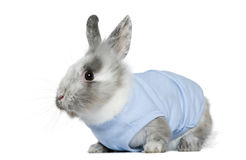 Dressed dwarf rabbit, 3 months old Stock Image