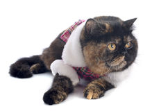 Dressed exotic shorthair cat. In front of white background royalty free stock photo