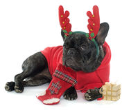 Dressed french bulldog Royalty Free Stock Photography