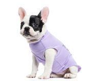 Dressed French Bulldog sitting, isolated Royalty Free Stock Images