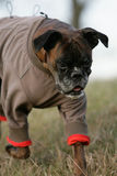 Dressed German boxer dog Stock Image