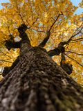 Tree with golden foliage, looking up stock photo