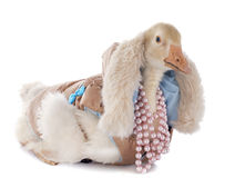 Dressed gosling Stock Images