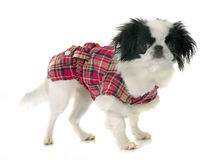 Dressed japanese chin Royalty Free Stock Photography