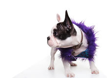 Dressed little french bulldog puppy looking to its side Stock Photography
