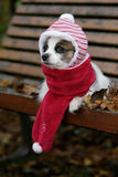 Dressed papillon dog. Close-up of a papillon dog dressed with a scarf and a cap stock photo