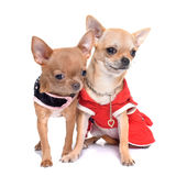 Dressed puppies chihuahua Royalty Free Stock Image